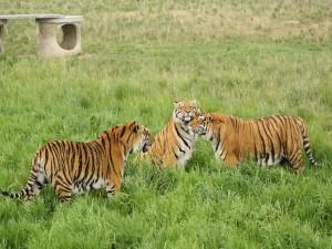 Postal: Tres hermosos tigres