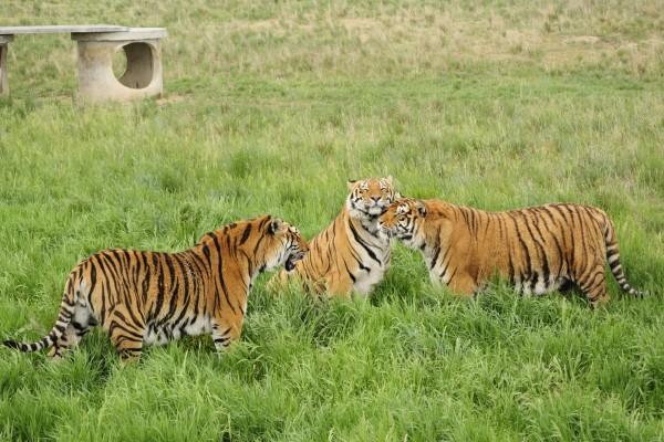 Tres hermosos tigres