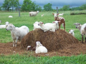 Ovejas y corderos