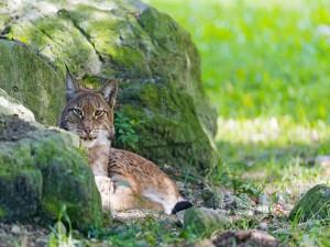 Lince descansando junto a una roca