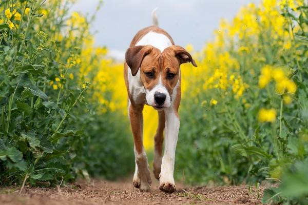 Perro caminando por un campo de flores