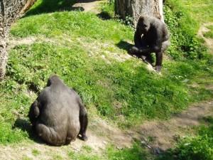 Postal: Dos gorilas