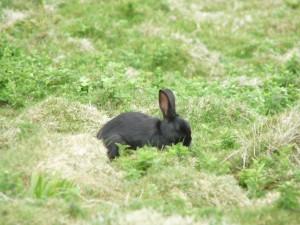 Postal: Conejo negro en la hierba