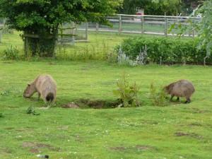 Carpinchos en un zoo