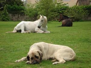 Postal: Perro y caballos descansando