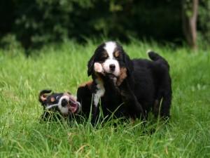 Dos cachorros jugando en la hierba