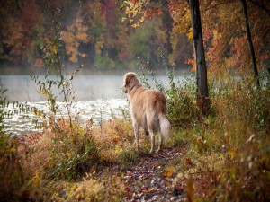 Golden retriever contemplando un río en otoño