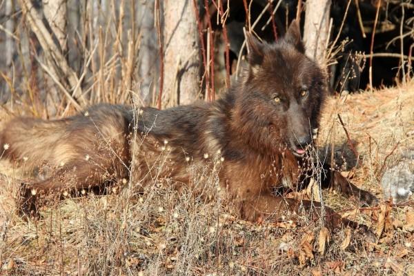 Lobo tumbado al sol