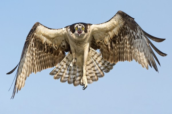 Vuelo del halcón