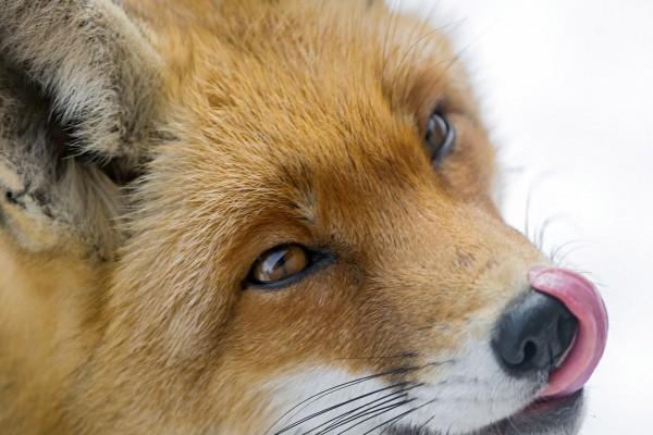 Un zorro se lame el hocico