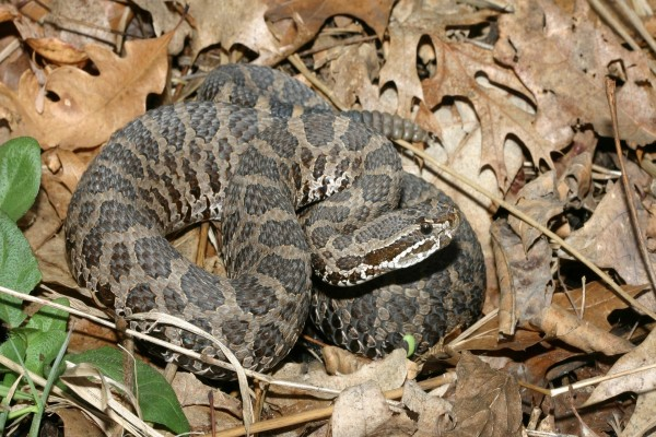 Impresionante serpiente de cascabel
