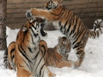Cachorros de tigre jugando en la nieve con su madre