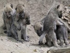 Postal: Cachorros de lobo jugando
