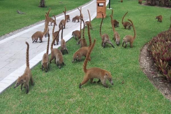 Coatíes en un parque