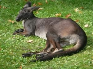 Un canguro adormilado sobre la hierba