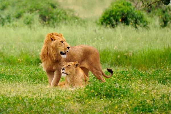 León y leona solos entre la hierba