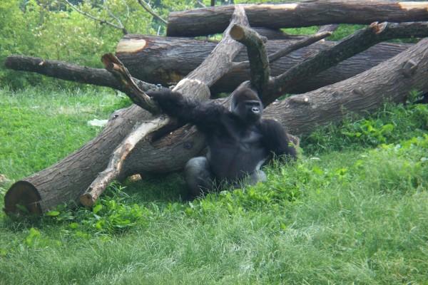 Un gorila junto a los troncos