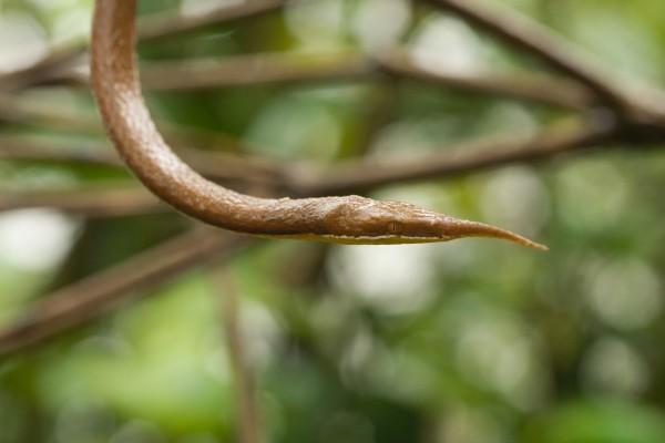 Una serpiente de madagascar