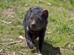 Postal: Demonio de Tasmania caminando por la hierba