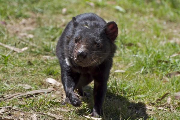 Demonio de Tasmania caminando por la hierba