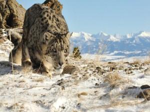 Leopardo de las nieves cauteloso