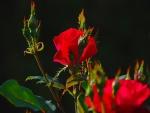 Rosal con rosas rojas