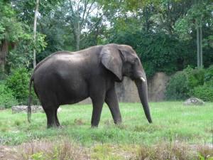 Elefante con un colmillo roto
