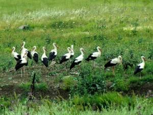 Cigüeñas sobre la hierba
