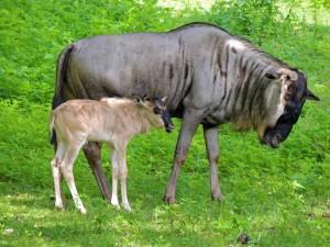 Postal: Hembra de ñu junto a su cría