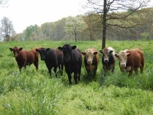 Vacas posando para la foto