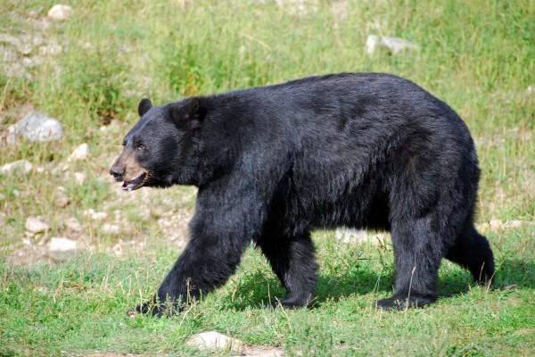 Un oso negro caminando