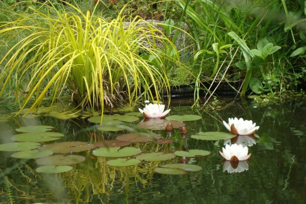 Flores de nenúfar en la superficie del agua