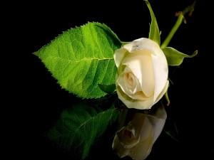 Postal: Una rosa blanca