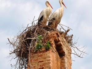 Postal: Cigüeñas en el nido