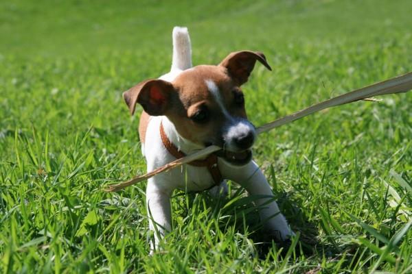 Perro jugando con un palo sobre la hierba