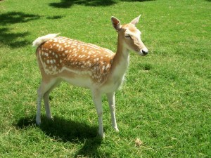 Postal: Un joven ciervo de cola blanca