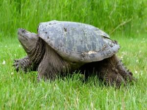 Gran tortuga caminando sobre la hierba
