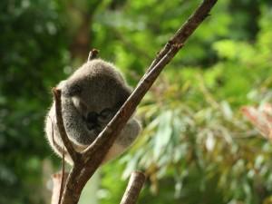 Koala descansando sobre un delgado tronco