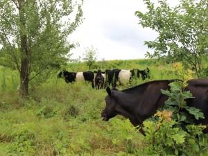 Vacas negras y blancas entre los árboles