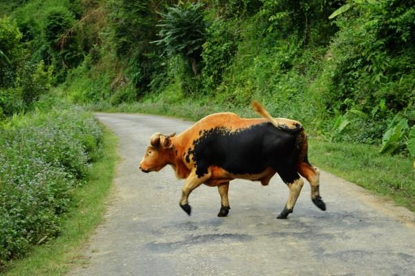 Una vaca marrón y negra cruzando un camino