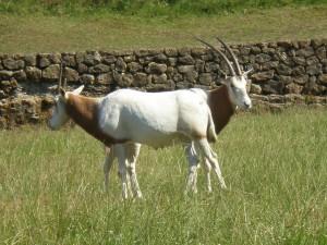 Postal: Dos cabras