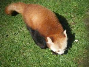 Panda rojo caminando sobre la hierba