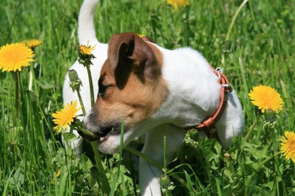 Perro mordiendo una flor amarilla
