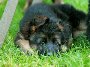 Postal: Cachorro tumbado en la hierba