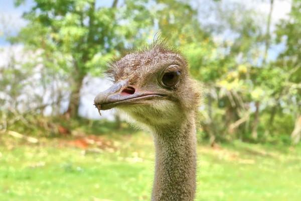 La cara de una avestruz