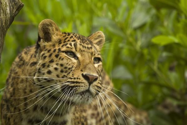 Los bigotes de un leopardo