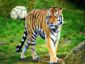 Hermoso tigre solitario