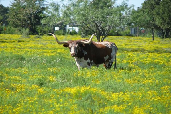 Vaca con grandes cuernos en un prado de flores amarillas