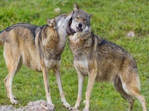 Lobo mordiendo a otro lobo