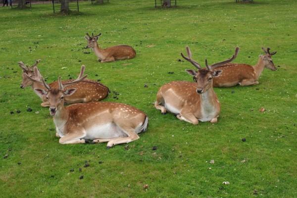Jóvenes ciervos descansando sobre la hierba